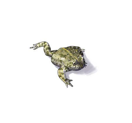 eyeing: Digital illustration of a Natterjack toad inked