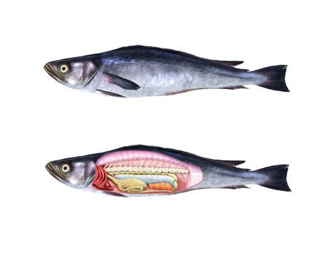 anatomia: Ilustraci�n digital de la anatom�a de un pez Foto de archivo
