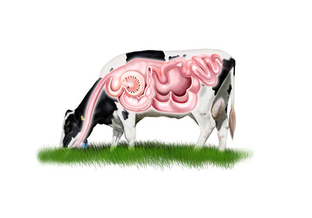 Digital illustration of a cow digestive system