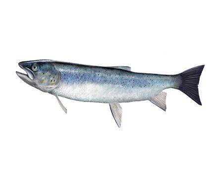 Digital illustration of a salmon