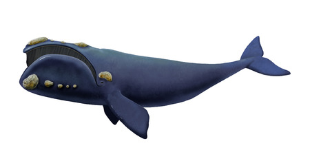 cetacean: Digital illustration of a Southern right whale