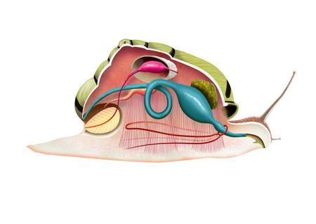 anatomia: Ilustraci�n digital de una anatom�a caracol