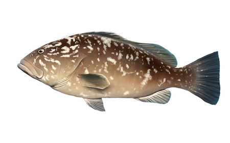 Digital illustration of a grouper illustration