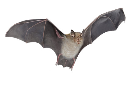 Digital illustration of a horseshoe bat flying