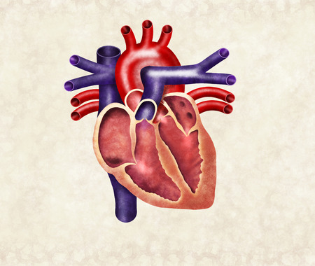atrium: Human heart digital illustration, cutout Stock Photo