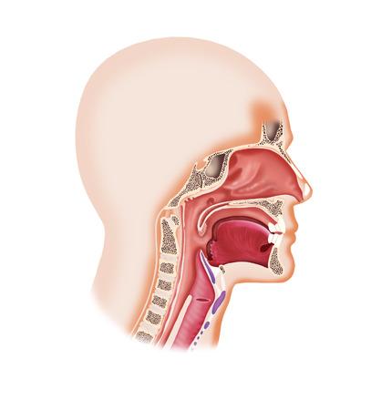 人間の顔の共振器の喉頭、鼻、口、舌のデジタル イラストレーション 写真素材