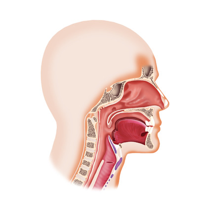 larynx: Digital illustration of a human face cavity with larynx, nose, mouth,tongue
