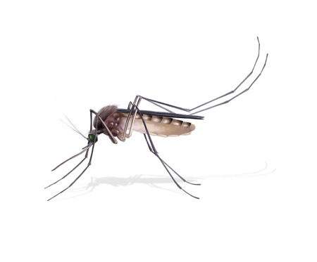 Digital illustration of a female mosquito
