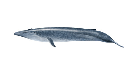 Digital illustration of a blue whale