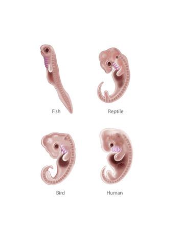 embryology: Digital illustration of 4 species embryo