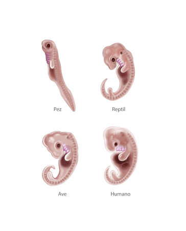 embryonic development: Digital illustration of 4 species embryo