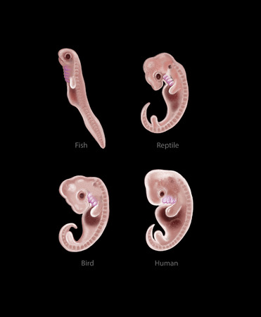 Digital illustration of 4 species embryo illustration