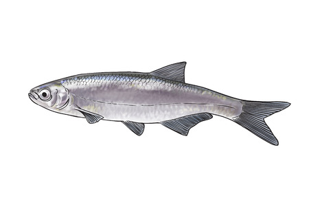 silver perch: Digital illustration of freshwater fish, bleak Stock Photo
