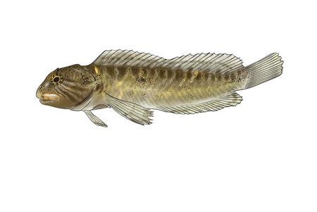 blenny: Digital illustration of freshwater fish,freshwater blenny