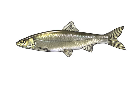 silver perch: Digital illustration of freshwater fish, common nase Stock Photo