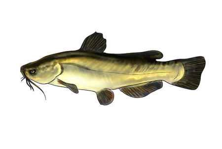 silver perch: Digital illustration of freshwater fish, black bullhead