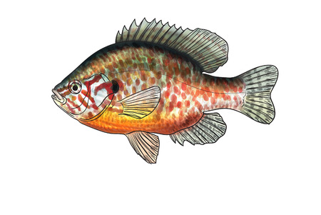 pumpkinseed: Digital illustration of freshwater fish, pumpkinseed