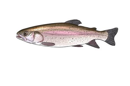 Digital illustration of freshwater fish, Rainbow trout Stock Photo