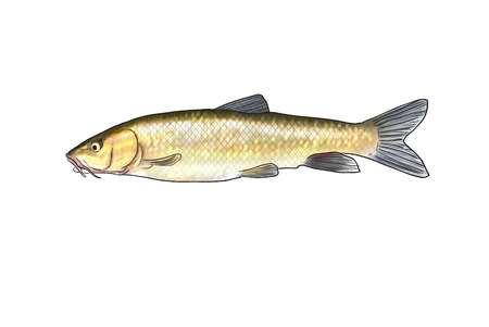 the perch: Digital illustration of freshwater fish,barbel