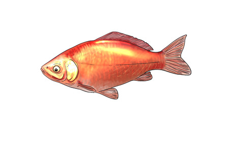 silver perch: Digital illustration of freshwater fish,goldfish Stock Photo