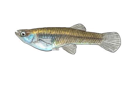 Digital illustration of freshwater fish, mosquitofish