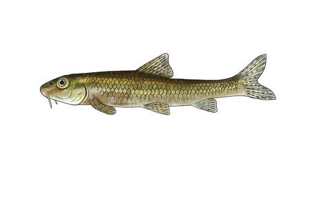silver perch: Digital illustration of freshwater fish,gudgeon
