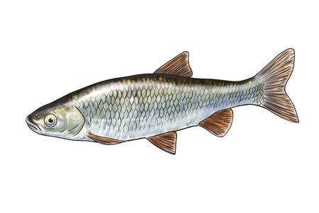 Digitale illustratie van zoetwatervissen, kopvoorn