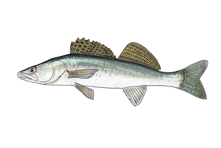 silver perch: Digital illustration of freshwater fish, zander