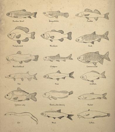 Digital illustration of river fish illustration