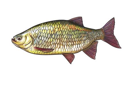 Digital illustration of freshwater fish, common rudd