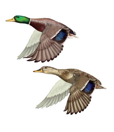 pato: Ilustración digital de un par de patos silvestres