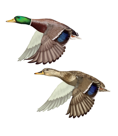 Digital illustration of a couple of Mallards