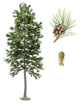 scots pine: Digital illustration, parts of the Scots pine