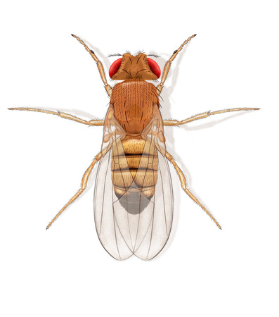 Digital illustration of a fruit fly Stock Photo