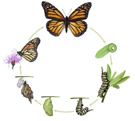 Digital illustration of a monarch butterfly life cycle