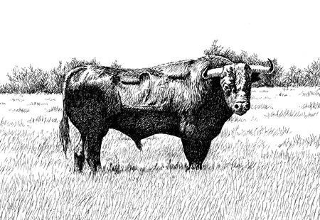 Digital illustration of a bull 版權商用圖片