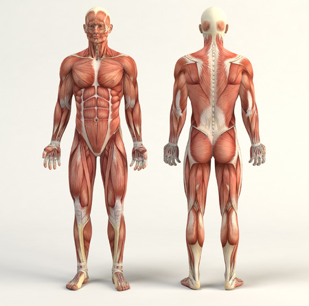 male anatomy: Digital illustration of muscular system Stock Photo