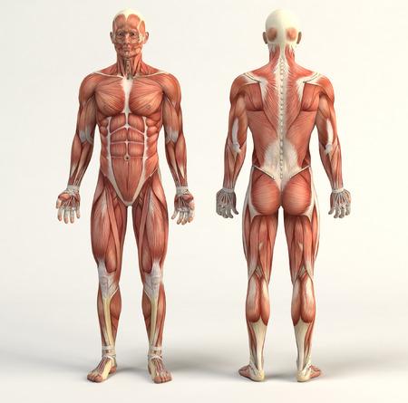 anatomia: Ilustración digital del sistema muscular Foto de archivo