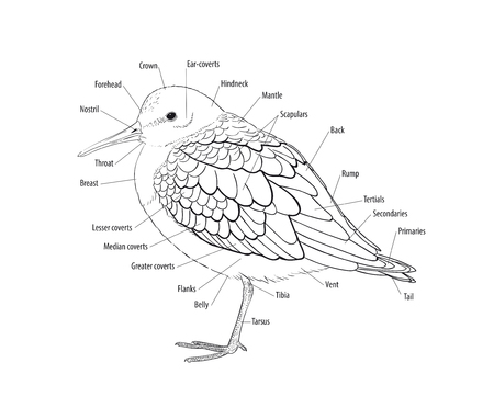 primaries: Main plumage and tracts of a bird