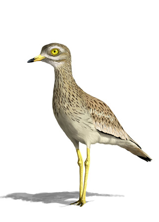 charadriiformes: Digital illustration of an Eurasian stone-curlew Stock Photo