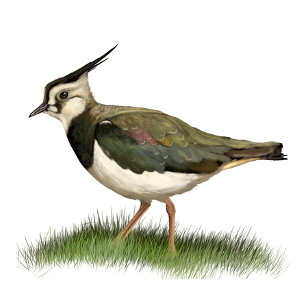 lapwing: Digital illustration of a Northern lapwing