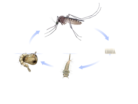 Digital illustration of the mosquito life cycle