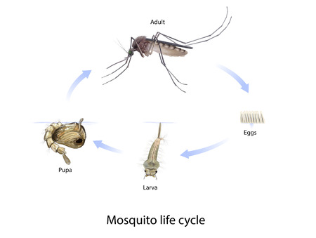 mosquito bite: Digital illustration of the mosquito life cycle