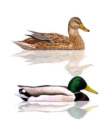 female mallard duck: Digital illustration of a couple of Mallards