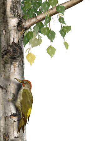 european white birch: Digital illustration of a green woodpecker