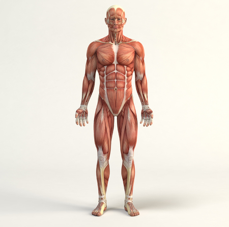systems: Digital illustration of muscular system Stock Photo