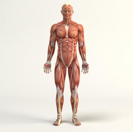 sistemas: Ilustración digital del sistema muscular Foto de archivo