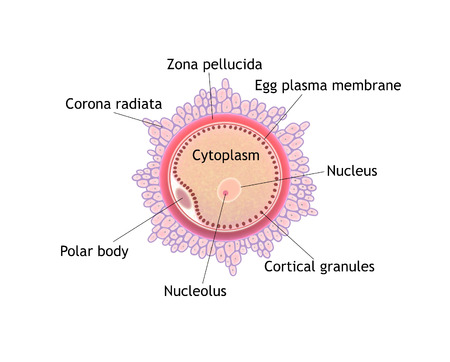 fertility: Digital illustration, parts of the ovule Stock Photo