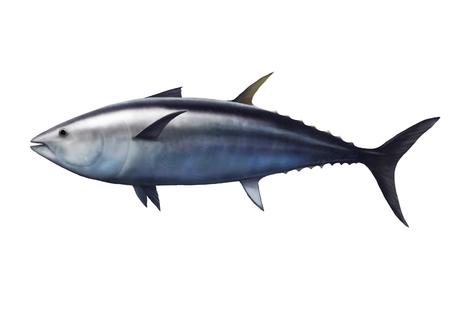 atun rojo: Ilustración digital de un atún, Thunnus thynnus Foto de archivo