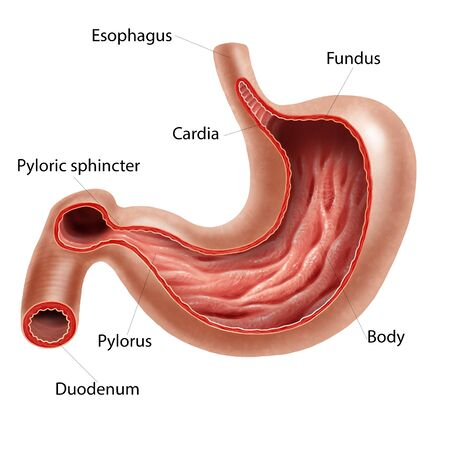 duodenum: Digital illustration of the stomach Stock Photo